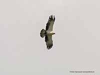Орёл-карлик